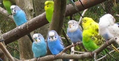 http://tipspetani.blogspot.com/2015/01/sejarah-perkembangan-burung-parkit.html