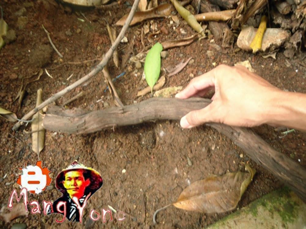 Ambil batang Indukan pohon anggur yang ditebang, potong kira – kira 15 - 20 Cm.