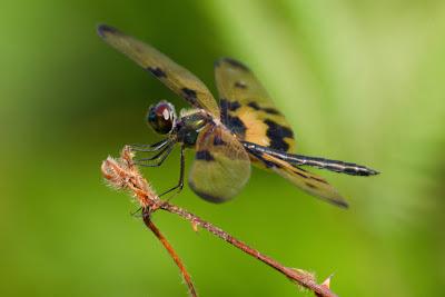Variegated Flutterer (male) - Thalangama, Sri Lanka