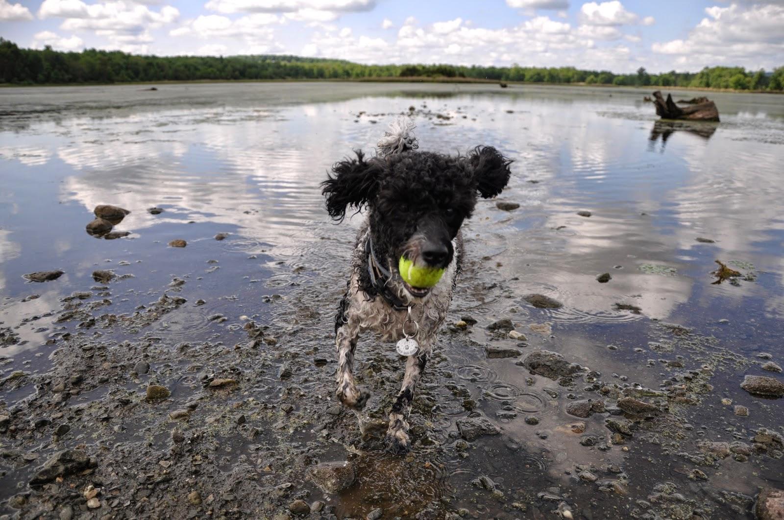 poodle dog fetch