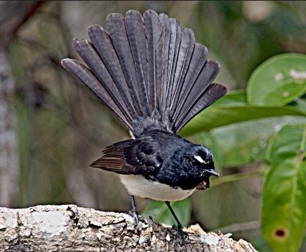 semua macam jenis burung tledekan sikatan sulingan resep