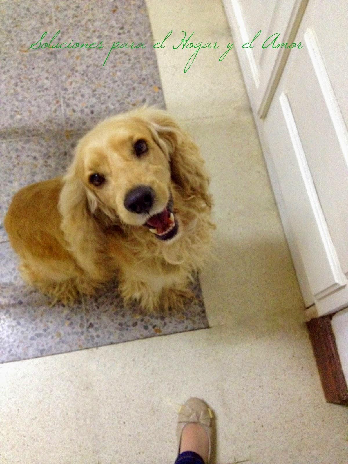 Perrito, mascota, cocker spaniel caramelo
