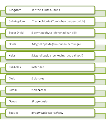 klasifikasi Kecubung Gunung (Brugmansia suaveolens)