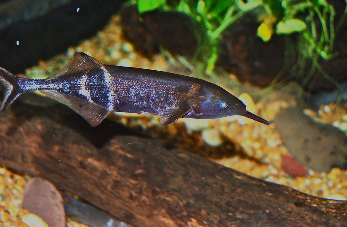 Elephant Knife Fish | Share The Knownledge