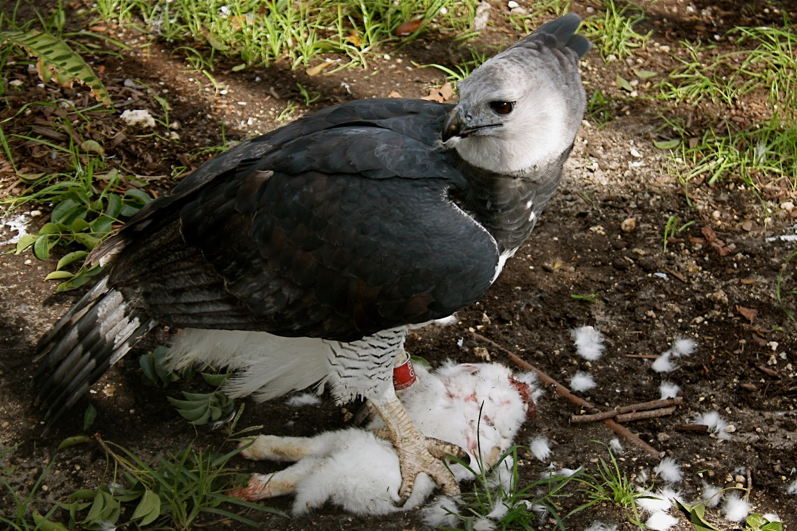 Harpy Eagle Pictures And Wallpapers Animals Library