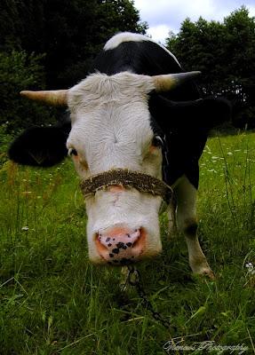Krowa na polu, zdjęcie wykonane ze zbliżeniem, karykatura, inny punkt widzenia