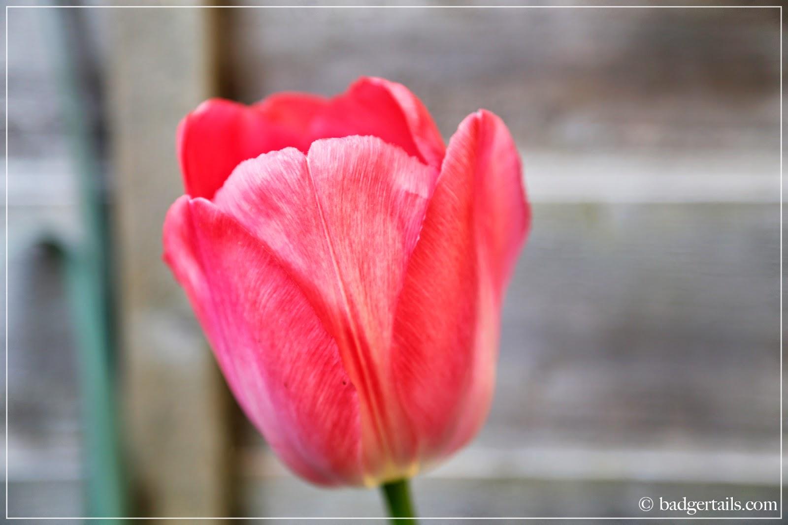 ©Badgertails.com Single Red Tulip