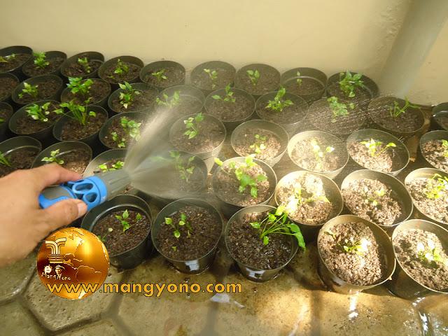 FOTO : Anakan bunga Gelombang Cinta yang sudah dipindahkan ke pot
