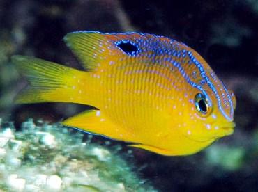 Damselfish - Fishes