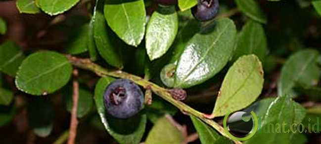 Gaylussacia brachycera atau box huckleberry
