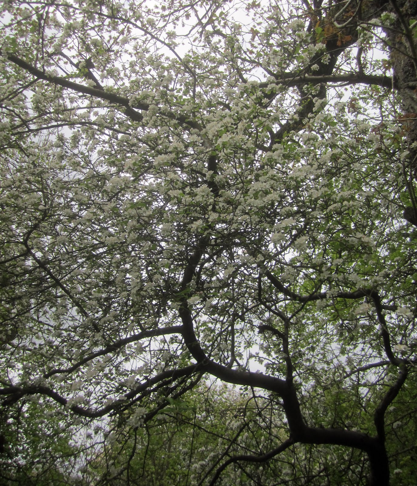 White crabapple canopy