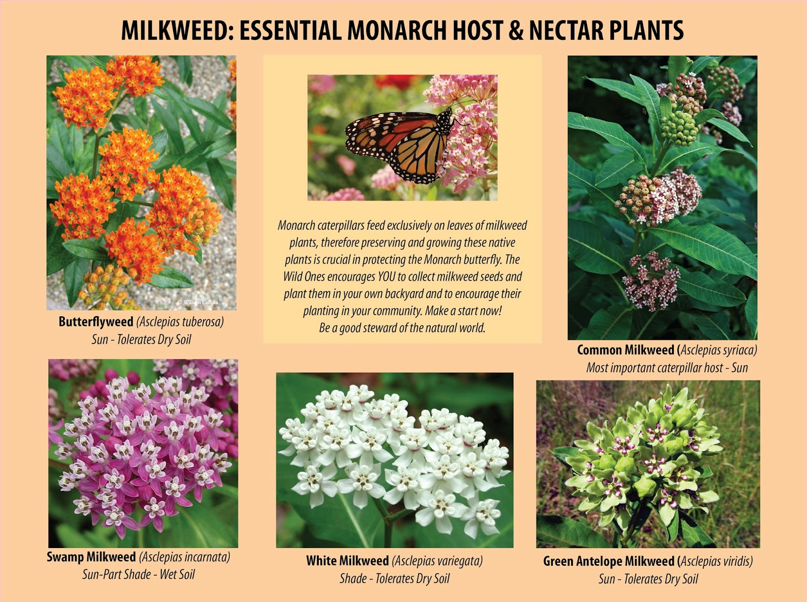 an analysis of monarch butterflies and butterfly weed Analysis: 60 million acres of monarch habitat to be doused with toxic weed now the center's report a menace to monarchs shows that the butterfly faces a.
