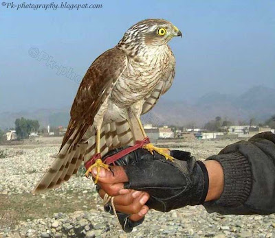 Hawk-bird of Prey Picture