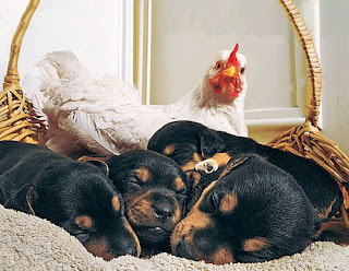 Foto Ayam dan Anjing Mesra