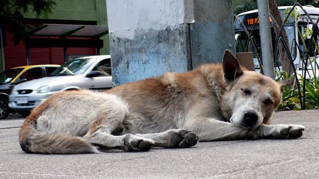 dog street santiago de chile perro callejero