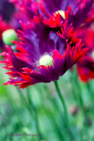 Poppy  Burgundy Frills