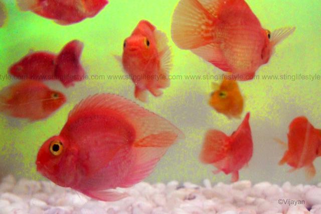Blood parrot cichlid aquarium info for Blood parrot fish