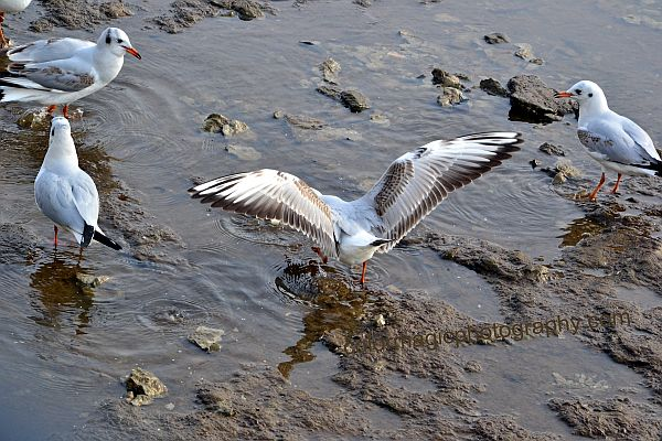 Black Headed Gulls-young  with brown feathers