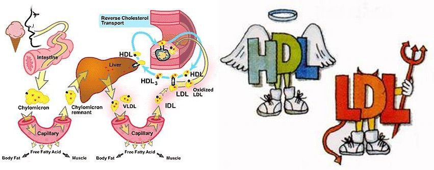 Image result for ldl and hdl images