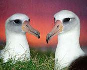 albatross, spring, biodiversity, chris jordan