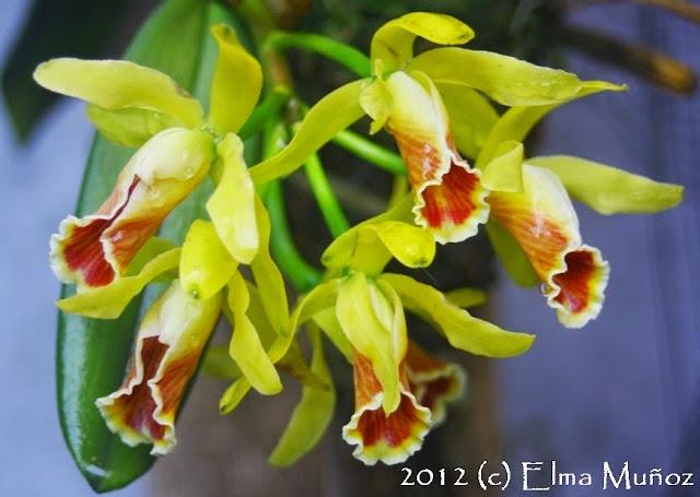Cattleya luteola 2012 Elma Muñoz