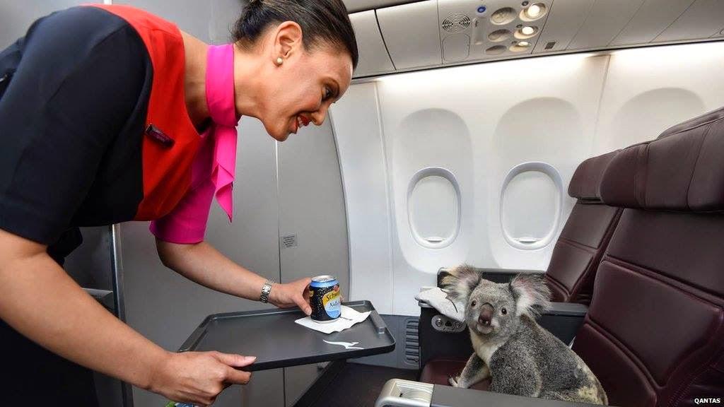 Australia will send four koalas to the Singapore Zoo.