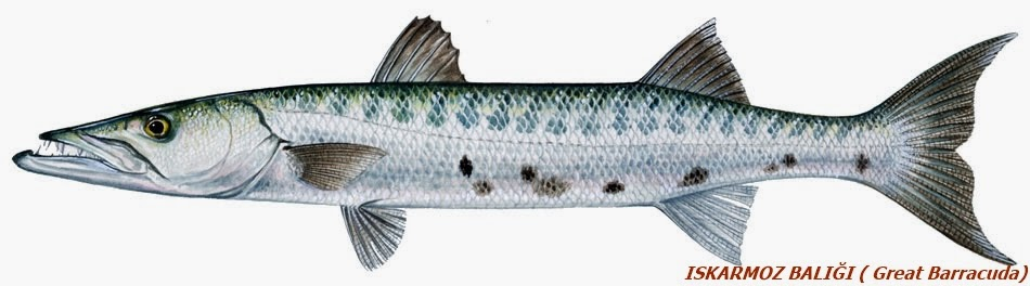 barakuda balığı özellikleri ile ilgili görsel sonucu