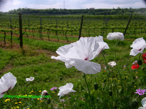 Erbe e fiori selvatici: papaveri bianchi