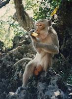 monkey on the beach in Koh Samet Thailand