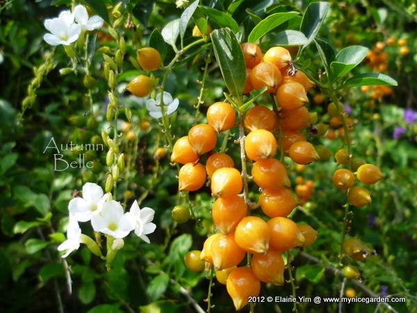 My tropical plants finder duranta erecta white flowers duranta erecta white flowers mightylinksfo