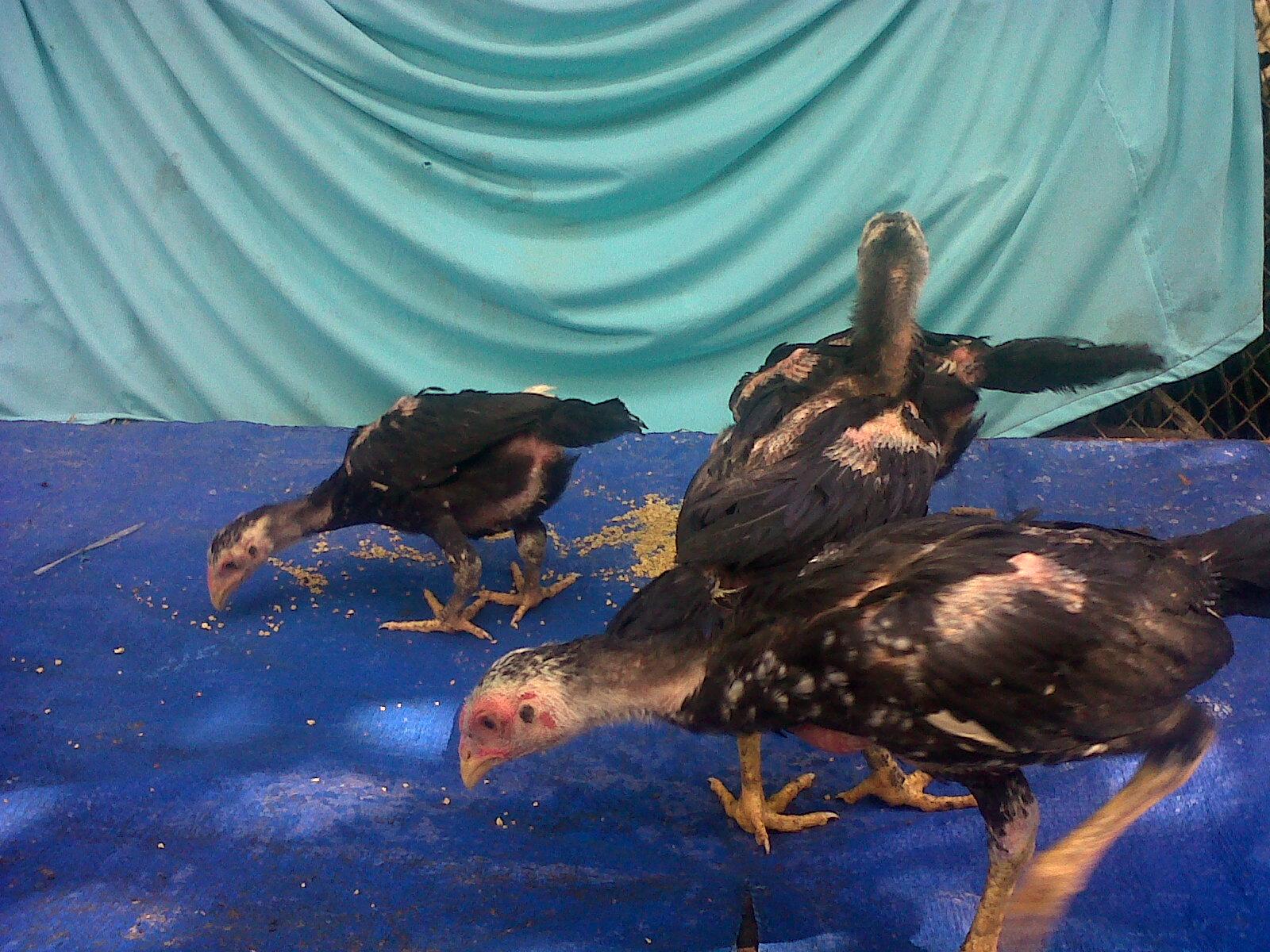 ternak ayam bangkok berkwalitas dari pacekan f1 jual