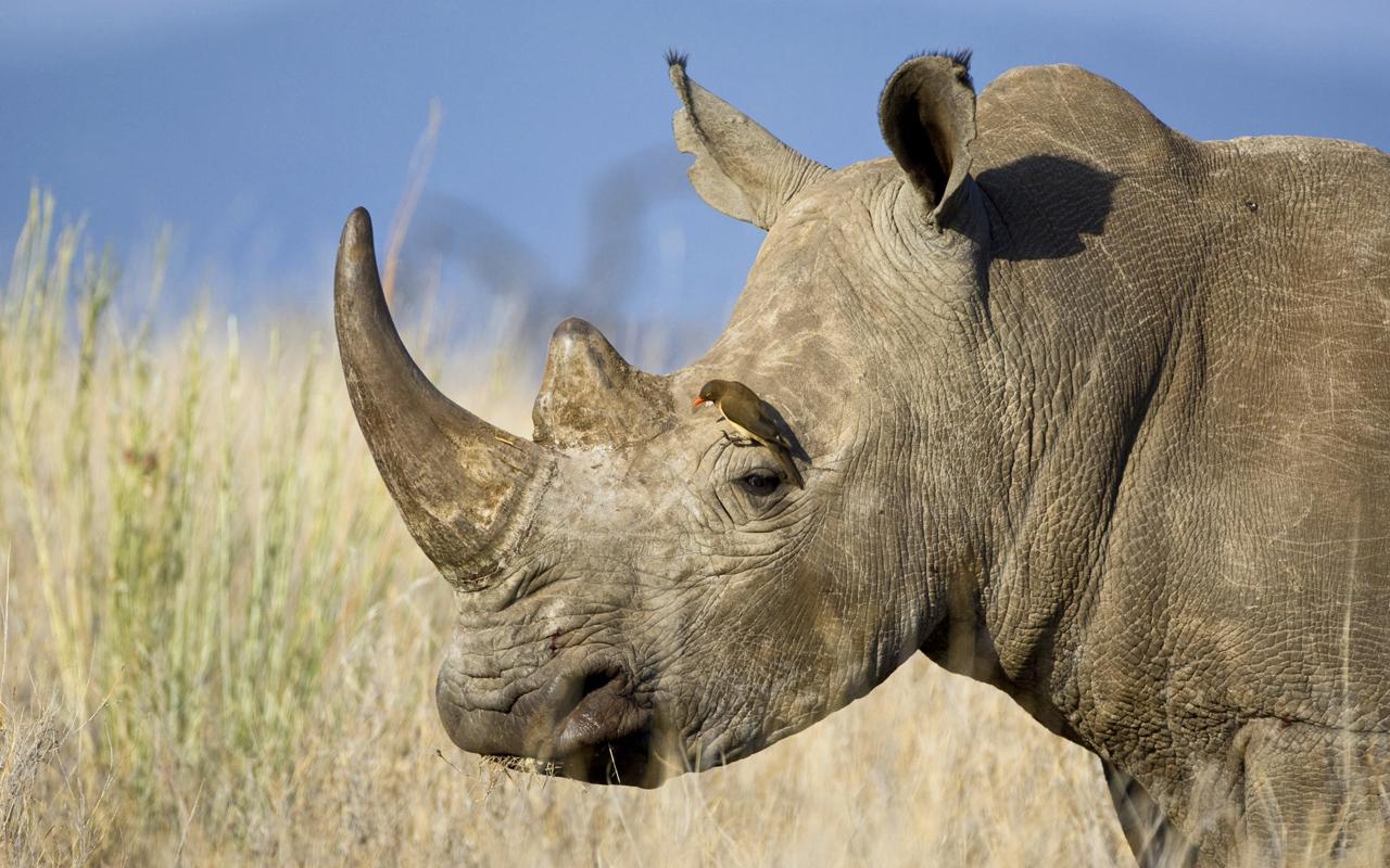 Devona Lubrano: rhinoceros wallpapers