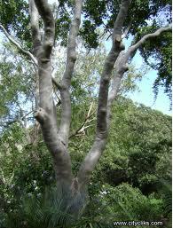 Cadagahi (Ecaliptus torelliana)