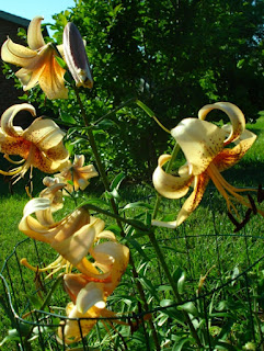 'Tiger Babies' Asiatic Lilium