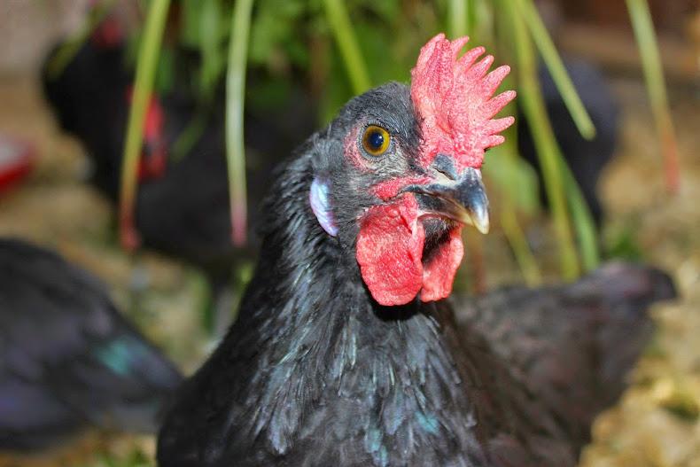 Augsburger Hühnerkiste