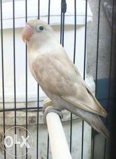 Lovebird Mocca Betina - Aneka Jenis Burung Lovebird