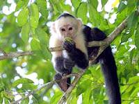 Dan .... Monyet Pun Jatuh ......