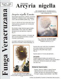 Arcyria nigella (Myxomycetes)