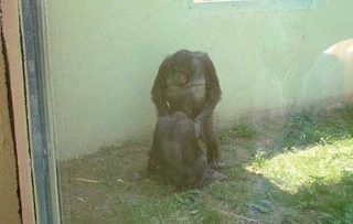 funny picture: monkey c*ck s*cking
