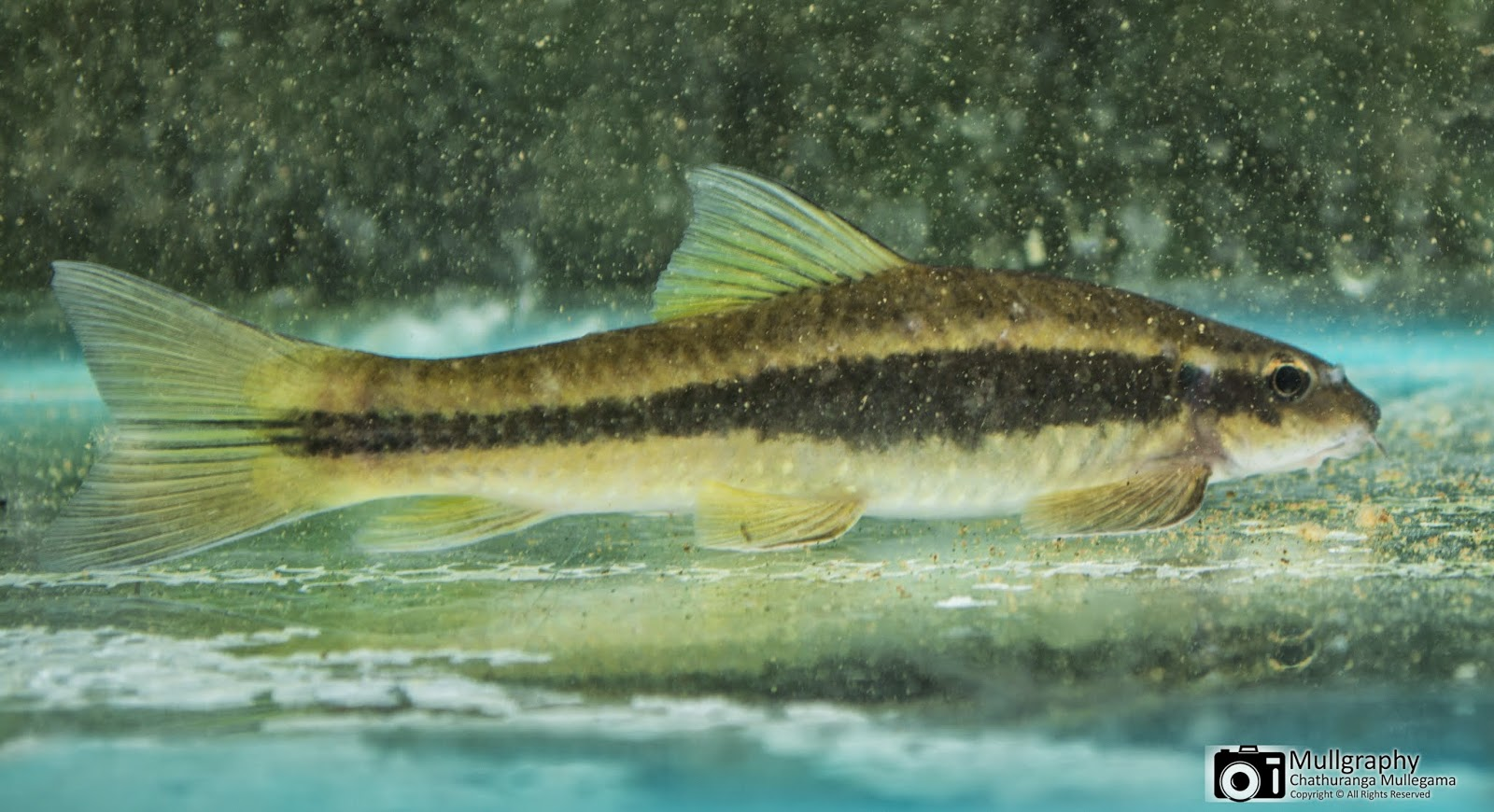 January 2015 freshwater fishes of sri lanka by for 7 fishes list