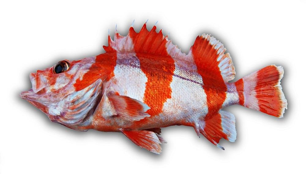 flag rockfish, orange rockfish, Wild West Commercial Fishing, local seafood, San Diego, Tuna Harbor Dockside Market