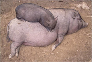 baby pig sleeps on mommy, funny animal pictures, animal pics