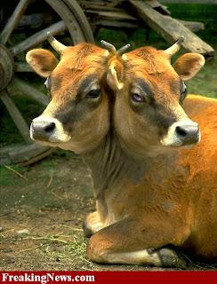 http://1.bp.blogspot.com/-M0f-WG0M2Bc/T6eLCtahIEI/AAAAAAAADzc/l1-lnpLGTd0/s1600/Two-Headed-Cow.jpg