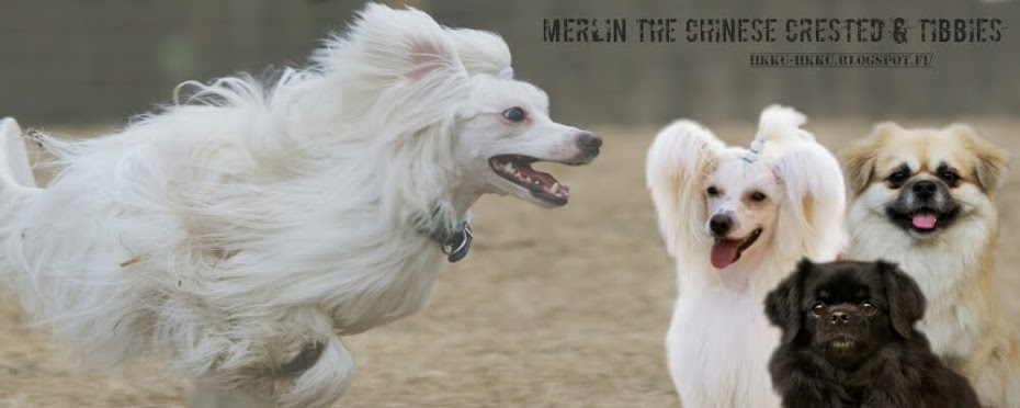 Merlin the chinese crested & tibbies