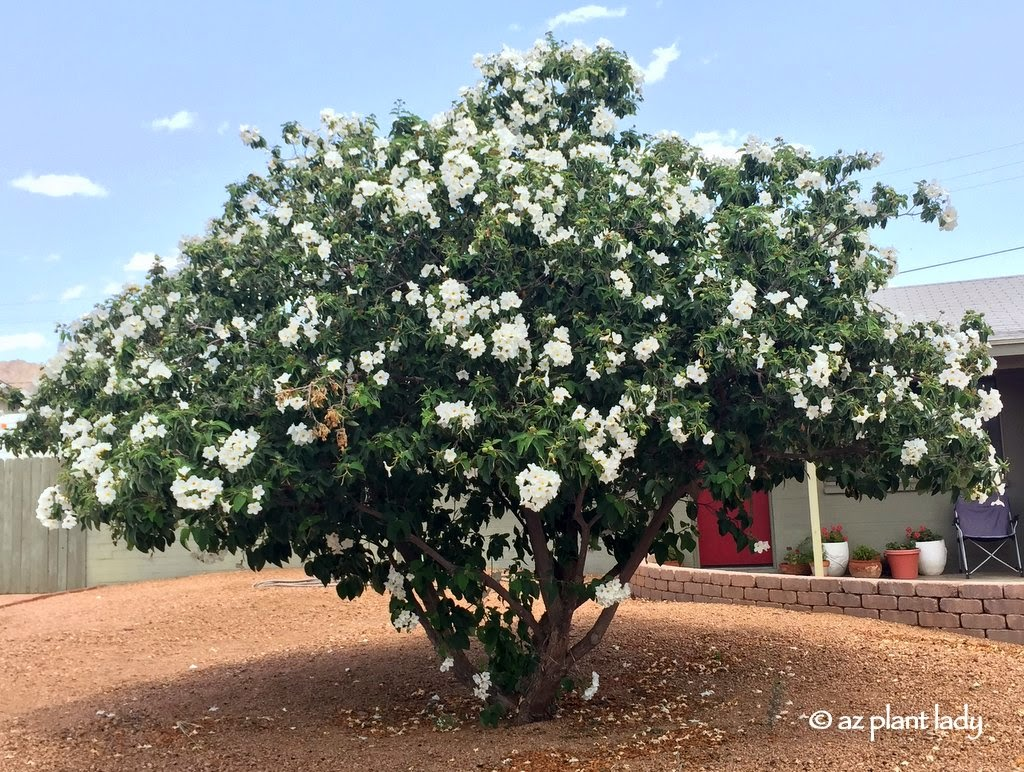 Drought Tolerant Beautiful Texas Olive Cordia