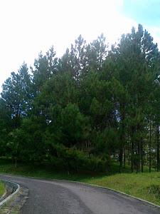 Pinus Merkusi