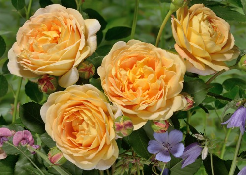 Golden Celebration rose сорт розы фото кусты саженцы