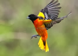 The Magic Of Baltimore The Baltimore Oriole In Flight