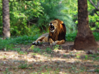 Roaring lion in the Jungle