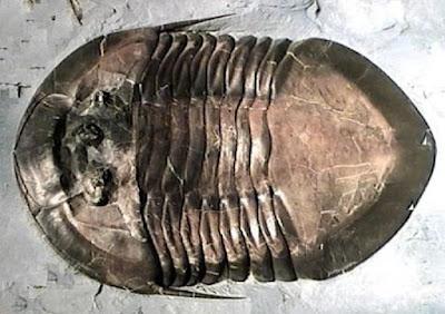 ordovicician trilobite